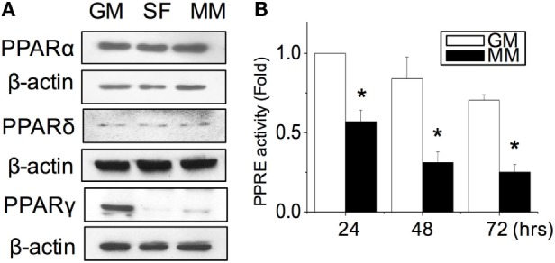 PPARγ protein expression was decreased during myogenesis (A) . The transcriptional activity of PPARs was decreased as measured by the promoter luciferase reporter construct of the PPAR-responsive element (PPRE) (B) . *Significant difference compared with GM ( p