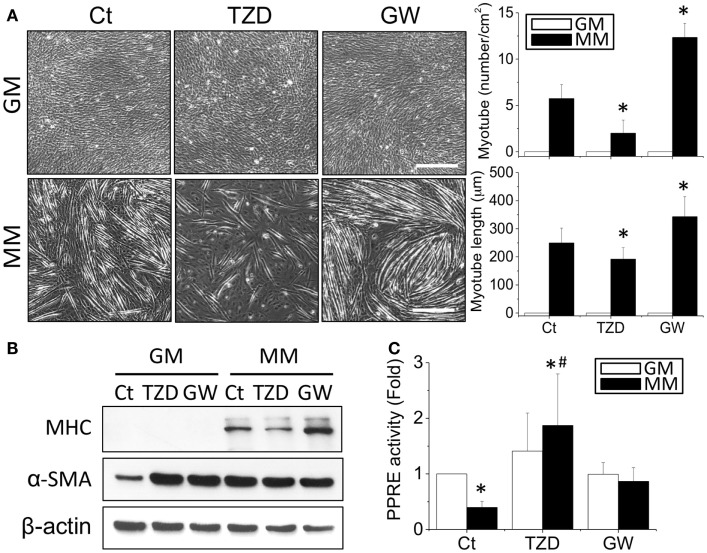 The addition of TZD (PPARγ agonist) abolished the MM-induced myotube formation, but GW9662 (GW, PPARγ antagonist) increased the number and length of myotubes (A) . The effect of PPARγ on myogenesis was confirmed by MHC protein expression, which was decreased with TZD and increased with GW treatment (B) . The administration of TZD significantly increased PPRE promoter activity (C) . *Significant difference compared with GM without drugs (Ct) ( p