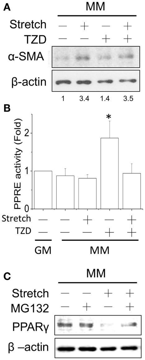 After applying the cyclic stretch for 1 h, α-SMA protein expression was increased with TZD treatment in MM (A) . The number below each lane indicates the quantified fold change with normalized to static condition without TZD and its individual β-actin. The mechanical stretch also inhibited the TZD-induced PPRE promoter activity (B) . The decreased PPARγ protein expression can be reversed by adding the protease inhibitor MG-132 during the cyclic stretch (C) . *Significant difference compared with GM without drugs ( p