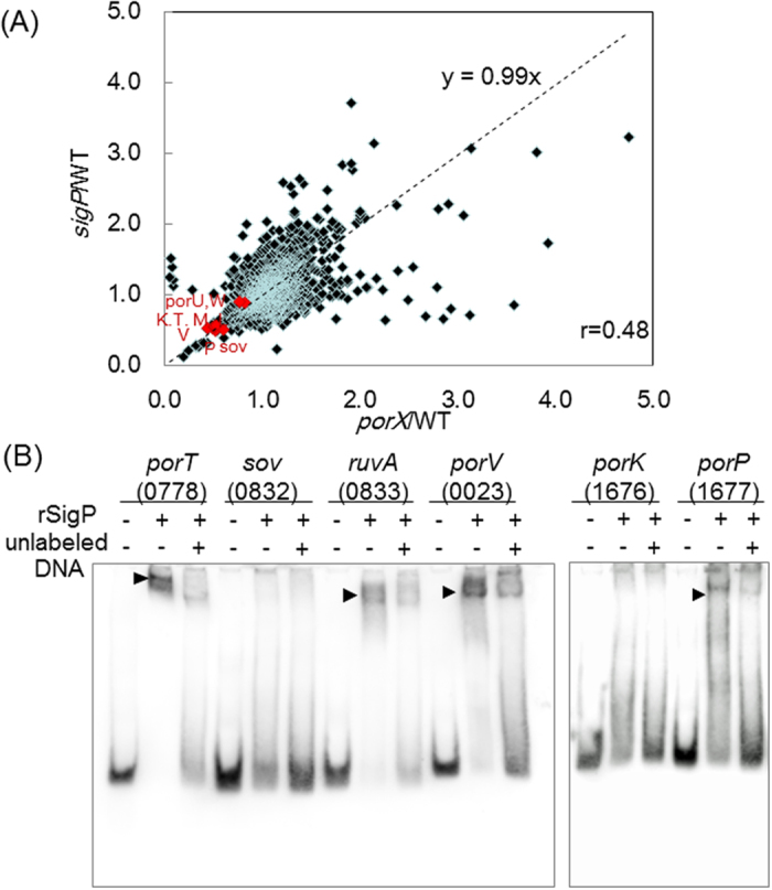 Involvement of SigP in the transcription of T9SS components. ( A ) Correlation in gene expression between porX mutant (KDP363) and sigP mutant (KDP314). Gene expression was measured by the custom tiling microarrays spanning the whole genome of P. gingivalis ATCC 33277. The expression level for each coding sequence was normalized with the constant from the 16S rRNA gene and represented as a ratio to that from wild type. Experiments were performed three times with independently prepared labelled cDNAs. The genes encoding T9SS components are represented in red. ( B ) EMSA assay of the promoter regions of T9SS component genes by rSigP. Probes corresponding to the possible promoter regions were generated by PCR and labelled with digoxigenin. Binding specificity was tested by competition with 100-fold excess of the appropriate unlabelled probe. PGN numbers for genes are indicated in parenthesis.