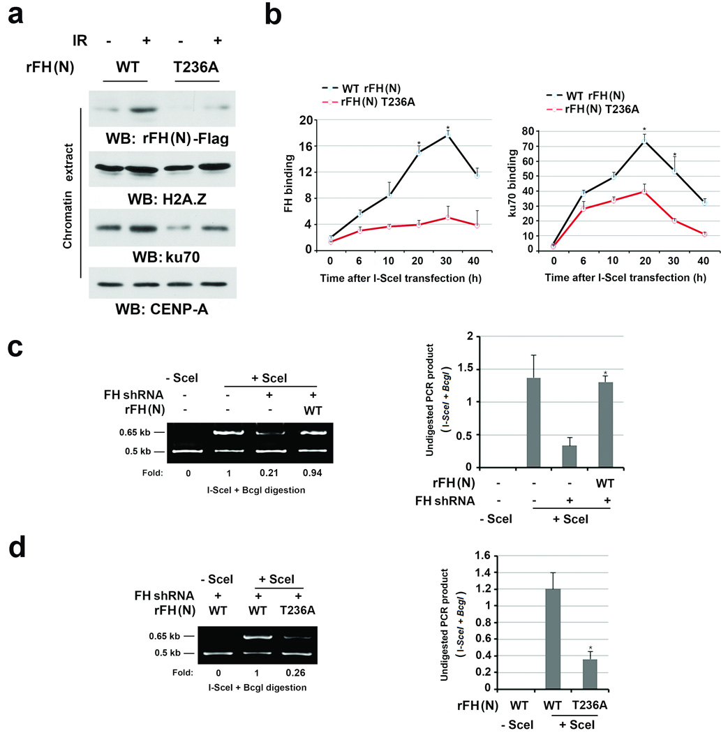 DNA-PK-phosphorylated FH promotes the DNA-PK complex accumulation at DSB regions and NHEJ a , Thymidine double block-synchronized U2OS cells with depleted endogenous FH and reconstituted expression of the indicated FH proteins were exposed to IR (10 Gy) and harvested 1 h after IR. Chromatin extracts or total cell lysates were prepared. b , DR-GFP-expressed U2OS cells with depleted endogenous FH and reconstituted expression of the indicated FH proteins were transfected with a vector with or without expressing I- SceI . ChIP analyses with antibodies that recognize FH (left panel) or Ku70 (right panel) and F1/R1 primers for the PCR were performed at the indicated time points after I- SceI transfection. The y-axis stands for the value of the I- SceI -induced fold increase of specific protein binding (the IP value was normalized to the input). The data represent the mean ± SD (n=3 independent experiments). c, d , DR-GFP-expressed U2OS cells with depleted endogenous FH and reconstituted expression of the indicated FH proteins were transfected with a vector with or without expressing I- SceI . PCR analyses for NHEJ were performed 42 h after transfection. A representative image of PCR products digested by I- SceI and BcgI is shown (left panel). The data represent the mean ± SD (n=3 independent experiments, right panel). * stands for P
