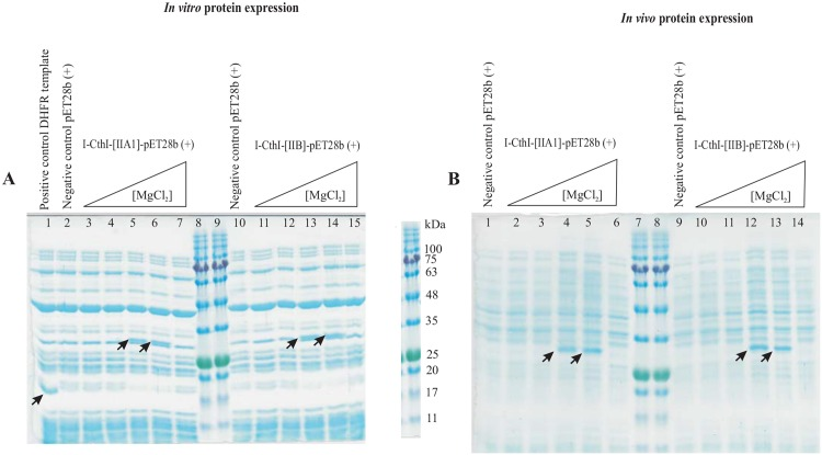 (A) The effect of MgCl 2 on in vitro protein expression. A 12.5% SDS-PAGE showing in vitro protein expression for constructs I-CthI-[IIA1]-pET28b (+) [left] and I-CthI-[IIB]-pET28b (+) [right] in the presence of various concentrations of external MgCl 2 in the culture media. Lane 1 represents the E . coli dihydrofolate reductase (marked with arrow) when 125 ng/μL was used as the template (positive control) for the <t>PURExpress</t> In Vitro Protein Synthesis kit. Lanes 2 and 10 show the in vitro protein expression profiles when empty pET28b (+) vectors (without the above constructs) were used as the negative control. Lanes 3 and 11 represent the in vitro protein expression profile when RNA (extracted from the culture in the absence of MgCl 2 ) was used as the template. Lanes 4 through 7 represent the protein expression profiles when RNA (extracted from the cultures in the presence of 1 mM, 5 mM, 10 mM and 20 mM respectively) was used as the template for the in vitro protein synthesis. The expression of the protein (I-CthI) has been marked with arrows. For in vitro expression from the I-CthI-[IIB]-pET28b (+) construct, lanes 12 through 15 follow the same order as depicted for the I-CthI-[IIA1]-pET28b (+) construct (i.e. lanes 4–7). Lanes 8 and 9 represent the Blueye prestained protein ladder (FroggaBio, North York, Ontario). (B) The effect of MgCl 2 on in vivo protein expression. A 12.5% SDS-PAGE showing in vivo protein expression for constructs I-CthI-[IIA1]-pET28b (+) [left] and I-CthI-[IIB]-pET28b (+) [right] in the presence of various concentrations of external MgCl 2 in the culture media. Lanes 1 and 9 represent the in vivo protein expression profiles from the empty pET28b (+) vector (without the constructs). Lanes 2 through 6 represent the protein expression profiles when I-CthI-[IIA1]-pET28b (+) [BL21] was grown under increasing concentrations of external MgCl 2 starting from 0 mM, 1 mM, 5 mM, 10 mM and 20 mM. Lane 10 through 14 represent the protein expressio