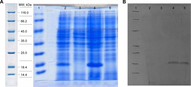 SDS-Page and Western blot analysis. Notes: ( A ) The expression analyses of E31C and E89C ngEPO analogs, using 12% SDS-PAGE. Lane 1, SM0431 protein marker (Fermentas, Vilinius, Lithuania); lanes 2 and 3, samples from Escherichia coli after and before induction with <t>IPTG</t> for E31C analog; and lanes 4 and 5, samples from E. coli after and before induction with IPTG for E89C analog. ( B ) The Western blot analyses of expressed ngEPO analogs. Lane 1, SM0431 protein marker (Fermentas); lane 2, E. coli transformed with pET-26b vector; lane 3, E. coli transformed with E31C cDNA before induction with IPTG; lane 4, E. coli transformed with E31C cDNA after induction with IPTG; and lane 5, E. coli transformed with E89C cDNA after induction with IPTG. Abbreviations: MW, molecular weight; ngEPO, nonglycosylated erythropoietin; SDS-PAGE, sodium dodecyl sulfate–polyacrylamide gel electrophoresis; IPTG, isopropyl <t>β-D-1-thiogalactopyranoside.</t>