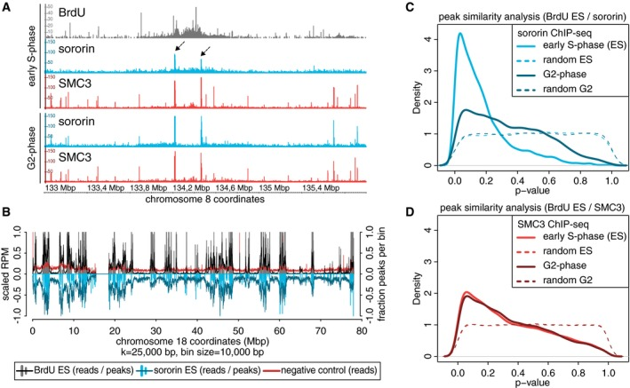 The genome‐wide association of sororin with cohesin occurs exclusively on replicated DNA Examples of sororin (dotted arrows) and <t>SMC3</t> ChIP‐seq and <t>BrdU</t> DIP‐seq data from early S‐phase as compared to G2‐phase using the Integrated Genome Browser (IGB; Nicol et al , 2009 ). Alignment of sororin, BrdU, and BrdU‐negative control sequencing bins in early S‐phase to human chromosome 18 (GRCh37/hg19). Bars correspond to called peaks, curves to read enrichments after smoothing ( k = 25 kbp). Quantification of the co‐occupancy of BrdU incorporation and sororin localization in early S‐phase and sororin in G2‐phase depicted as P ‐value distributions calculated with IntervalStats (Chikina Troyanskaya, 2012 ) and compared to randomized controls. Sororin peaks were identified as overlapping peaks of 4 samples in early S‐phase and 2 samples in G2‐phase, using only the common peaks. Quantification of the co‐occupancy of SMC3 in early S‐phase and in G2‐phase with BrdU incorporation in early S‐phase.