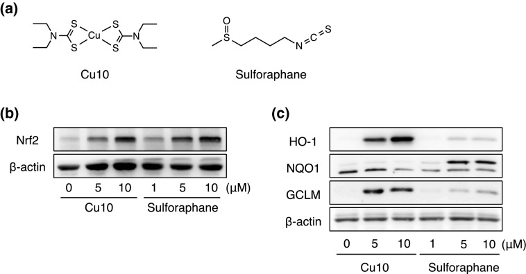 Characterization of Nrf2 activation by Cu10 compared with sulforaphane. a The structures of Cu10 and sulforaphane. b The expression of Nrf2. Confluent cultures of bovine aortic endothelial cells were incubated at 37 °C for 3 h in the presence or absence of Cu10 (5 or 10 µM) or sulforaphane (1, 5, or 10 µM). c The expression of downstream proteins of Nrf2. Confluent cultures of bovine aortic endothelial cells were incubated at 37 °C for 24 h in the presence or absence of Cu10 (5 or 10 µM) or sulforaphane (1, 5, or 10 µM). HO-1 heme oxygenase-1, NQO1 NAD(P)H quinone oxidoreductase 1, GCLM γ-glutamylcysteine synthetase modifier subunit
