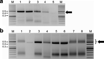 Comparison of selected treatments on the visualization of RPA-generated <t>amplicons.</t> a Results using primer pair TYL828F/TYL834R from crude extracts prepared in 0.5 N NaOH from Tomato yellow leaf curl virus (TYLCV)-infected tomato leaves and cleaned by heating to 65 °C for 15 min. Lane M: 50 bp ladder MW standard, size is indicated in kilobases (kb); Lane 1 fresh tissue; Lane 2 tissue kept frozen at −20 °C for 5 months; Lane 3 tissue kept frozen at −80 °C for 3 months; Lane 4 desiccated tissue maintained at room temperature for 15 years; Lane 5 non-inoculated tissue kept frozen at −80 °C for 3 months. b Detection of TYLCV from crude extracts prepared in 0.5 N NaOH and cleaned as follows: Lane 1 untreated; Lane 2 QIAquick PCR purification column; Lane 3 heated at 65 °C for 10 min; Lane 4 heated at 95 °C for 10 min; Lane 5 amplicon loading buffer contained 5 % SDS; Lane 6 amplicon loading buffer contained 10 % SDS; Lane 7 amplicon loading buffer contained 5 % formamide; Lane 8 amplicon loading buffer contained 15 % formamide. Ten μl of amplified product were loaded into each lane of the 1.5 % agarose gels and stained with ethidium bromide