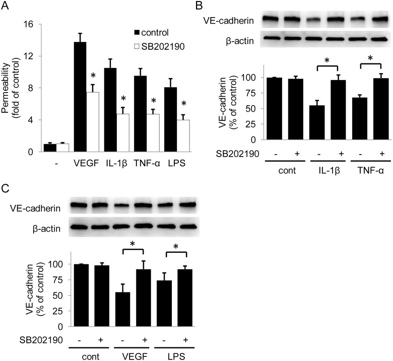 SB202190 protects HUVEC barrier function. (A) Pretreatment with SB202190 (10 μmol/L), a p38 inhibitor, attenuated VEGF- or pro-inflammatory cytokines-induced HUVECs permeability. Error bars denote mean ± SD (n = 3). * indicates P