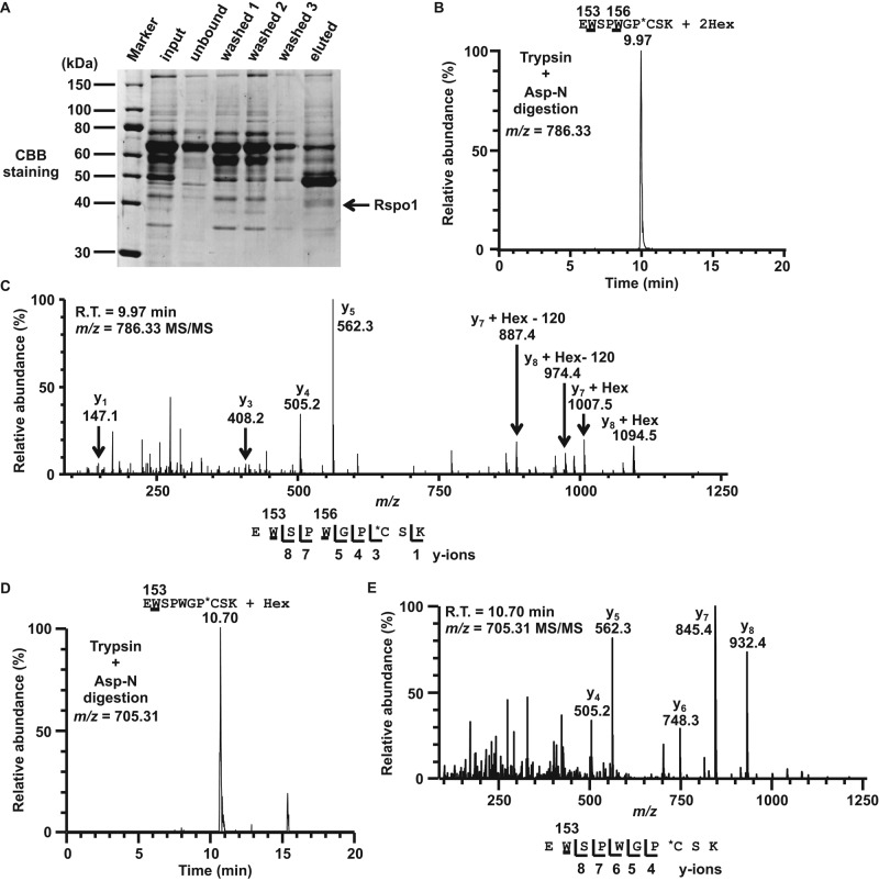 Identification of C -mannosylation sites in Rspo1. (A) Separation of recombinant Rspo1 from the conditioned medium of HT1080-Rspo1-MH cells. Secreted Rspo1-MH was purified with Ni-NTA agarose, and samples were electrophoresed on an SDS–polyacrylamide gel. The gel was visualized with CBB staining. (B–E) Identification of C -mannosylation sites in Rspo1. Samples were digested with trypsin and Asp-N, and the resulting peptides were analyzed by LC-MS/MS. The signal was observed in the chromatogram at m/z = 786.33 (B) and 705.31 (D). The ions at 9.97 min ( m/z = 786.33) and 10.70 min ( m/z =705.31) were further analyzed by LC-MS/MS, respectively (C, E). Indicated y ions were detected, and both W 153 and W 156 (C) or only W 153 (E) of Rspo1 was C -mannosylated. C -mannosylation sites are underlined. *C, propionamide cysteine.