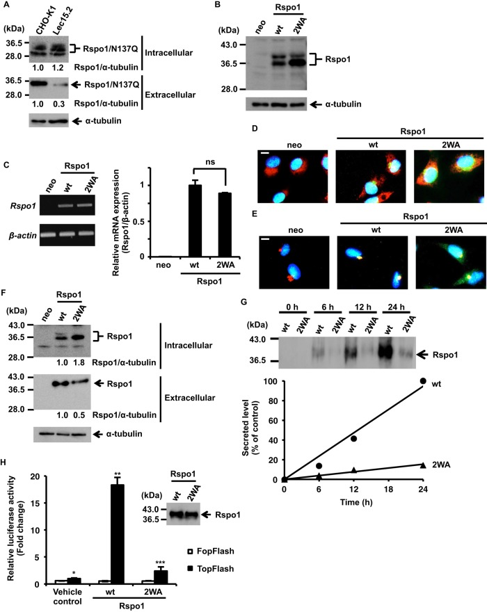 Effect of C -mannosylation on Rspo1 function. (A) Effect of C -mannosylation on Rspo1 secretion using CHO-K1 and Lec15.2 cells. CHO-K1 and Lec15.2 cells were transiently transfected with pCI-neo-Rspo1/N137Q-MH vector for 6 h and then cultured in serum-free medium with 50 μg/ml soluble heparin for 18 h. The protein samples were electrophoresed and immunoblotted with anti–c-myc and anti–α-tubulin. Signal intensities of Rspo1 were quantified and normalized to α-tubulin expression using ImageJ software. The Rspo1/α-tubulin ratio (CHO-K1) was defined as 1.0. (B, C) Establishment of mutant form of Rspo1 (W 153 and W 156 replaced by alanine residues; W153A/W156A: 2WA)–overexpressing HT1080 cell line, HT1080-Rspo1/2WA-MH. HT1080-neo (neo), HT1080-Rspo1-MH (wt), and HT1080-Rspo1/2WA-MH (2WA) cells were lysed, and aliquots of the cell lysates were electrophoresed and immunoblotted with anti–c-myc and anti–α-tubulin (B). Total RNA was isolated from each cell line, and semiquantitative (left) and quantitative (right) RT-PCR was performed (C). Equal amounts of exogenous Rspo1 in these cells were confirmed. ns, not significant. (D, E) Effect of C -mannosylation on intracellular trafficking. Cells were cultured with 50 μg/ml soluble heparin, stained with Hoechst 33258 (blue), anti–c-myc (green), and anti-KDEL (red; D) or anti-GRASP65 (red; E), and examined by fluorescence microscopy. Areas of overlapping stains are represented in yellow in the superimposed images. Bars, 10 μm. (F) Effect of C -mannosylation on Rspo1 secretion using a mutant Rspo1-overexpressing cell line. Cells were cultured with 50 μg/ml soluble heparin, and cell lysates and conditioned media were electrophoresed and immunoblotted with anti–c-myc and anti–α-tubulin. Signal intensities of Rspo1 were quantified and normalized to α-tubulin expression using ImageJ software. The Rspo1/α-tubulin ratio (wt) was defined as 1.0. (G) Effect of C -mannosylation on the kinetics of Rspo1 secretion. Cells were cultured with 50