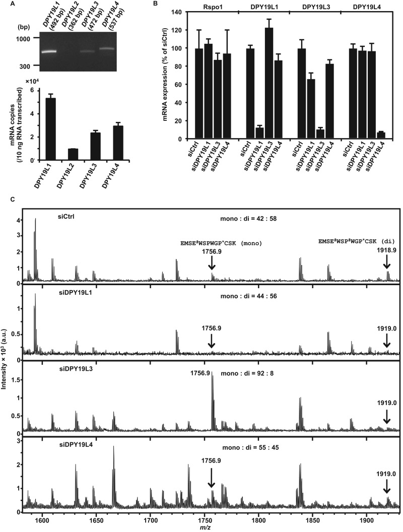 DPY19L3 is the C -mannosyltransferase of Rspo1 at W 156 in human cells. (A) Expression of DPY19 members in HT1080-Rspo1-MH cells. Total RNA was isolated from HT1080-Rspo1-MH cells, and semiquantitative (top) and quantitative (bottom) RT-PCR were performed. Absolute copy number of mRNA transcript/10 ng of total RNA was calculated by quantitative RT-PCR. DPY19L2 expression was lower than the others. (B) Knockdown of DPY19L1, DPY19L3, and DPY19L4. Total RNA was isolated from each cell line, and quantitative RT-PCR was performed. Significant knockdown efficiency was observed for each siRNA against its target gene. (C) DPY19L3 is the C -mannosyltransferase of Rspo1 at W 156 in human cells. HT1080-Rspo1-MH cells were treated with the indicated siRNAs, and conditioned media were collected. Recombinant Rspo1 was purified with Ni-NTA agarose, and the samples were digested with trypsin and Asp-N. The resulting peptides were analyzed by MALDI-TOF MS. siDPY19L3 changed the ratio of two peptides compared with siCtrl: the signal intensity from the dimannosylated peptide at W 153 and W 156 ( m/z = 1919.0) declined, although that of the monomannosylated peptide at W 153 ( m/z = 1756.9) increased. # W, C -mannosyltryptophan; *C, propionamide cysteine. The ratio monomannosylated/dimannosylated Rspo1 was calculated from each peak area.