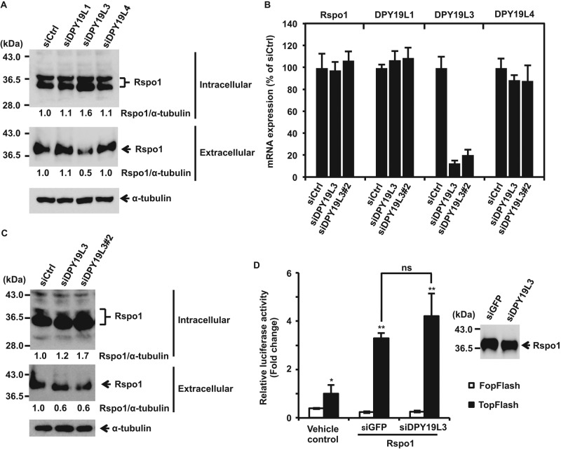 DPY19L3-mediated C -mannosylation of Rspo1 at W 156 regulates its secretion. (A) Effect of knockdown of DPY19L1, DPY19L3, or DPY19L4 on Rspo1 secretion. HT1080-Rspo1-MH cells were treated with the indicated siRNAs and cultured in serum-free medium with 50 μg/ml soluble heparin, and cell lysates and conditioned media were electrophoresed and immunoblotted with anti–c-myc and anti–α-tubulin. Signal intensities of Rspo1 were quantified and normalized to α-tubulin expression using ImageJ software. The Rspo1/α-tubulin ratio (siCtrl) was defined as 1.0. (B, C) Effect of knockdown of DPY19L3 on Rspo1 secretion. HT1080-Rspo1-MH cells were treated with the indicated siRNAs. Total RNA was isolated from each cell line, and quantitative RT-PCR was performed (B). Each cell line was cultured in serum-free medium with 50 μg/ml soluble heparin, and cell lysates and conditioned media were electrophoresed and immunoblotted with anti–c-myc and anti–α-tubulin (C). Signal intensities of Rspo1 were quantified and normalized to α-tubulin expression using ImageJ software. The Rspo1/α-tubulin ratio (siCtrl) was defined as 1.0. (D) Effect of C -mannosylation of Rspo1 at W 153 on Wnt signaling enhancing activity. HT1080-Rspo1-MH cells were treated with siGFP or siDPY19L3, and conditioned medium from each cell was collected. Rspo1 proteins were purified from the conditioned medium of siGFP- or siDPY19L3-treated cells, and the amounts of proteins were equalized by Western blot (inset). 293T cells were transfected with TOPFlash or FOPFlash in the presence of 10% Wnt3a-conditioned medium and treated with equal amounts of purified Rspo1 proteins. After 24 h, luciferase activities were measured and normalized to Renilla luciferase. W 153 - C -mannosylated Rspo1 (produced by siDPY19L3-treated cells) had almost same activity as wild-type Rspo1 (produced by siGFP-treated cells). Data shown are means ± SD. * p