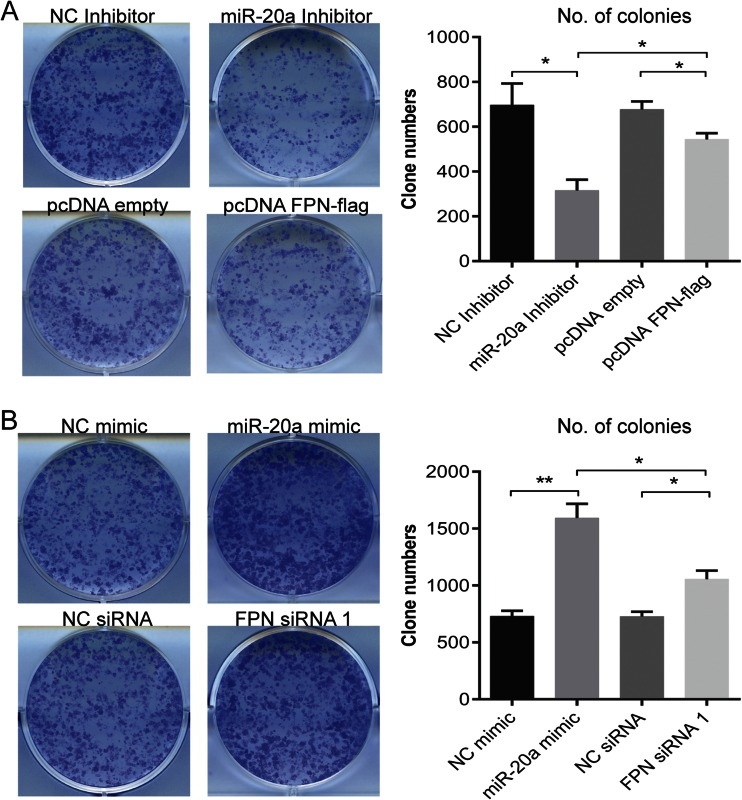 Colony formation of H1299 cells is affected by expression levels of miR-20a and FPN. H1299 cells were transiently transfected with either a miR-20a mimic, a miR-20 inhibitor, pcDNA FPN-flag, or FPN siRNA. Twenty-four hours later, the cells were seeded at a clonal density of 1000 cells/well in a 6-well plate. After 15 days of incubation, the colonies were counted using the Cell Counter v.2.1. Quantitative data are shown in a and b . Treatments are indicated. Left , representative pictures of colonies formed; right , quantitation of colonies. Experiments were performed in triplicates and repeated at least three times. Data were presented as mean ± SEM. * P