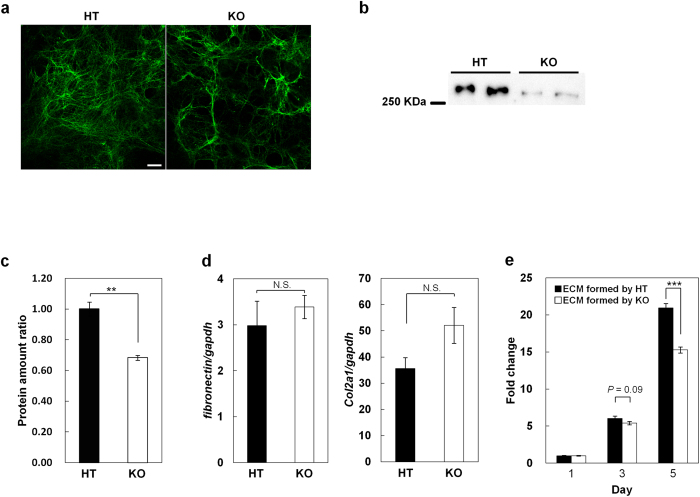 ECM formed through LPA 1 signaling supports the proliferation of chondrocytes. ( a,b ) FN deposition is enhanced by LPA 1 signaling. ( a ) Chondrocytes were cultured in medium containing 10% FCS for 10 days and immunostained with anti-FN antibody. Scale bar: 10 μm. ( b ) <t>Deoxycholate-insoluble</t> <t>fibronectin</t> in the extracellular matrix (ECM) was detected by western blot. ( c ) Comparison of ECM amount between HT and KO chondrocytes. ( d ) FN and Col II are similarly expressed in HT and KO chondrocytes. (Data are mean ± s.d., n = 3, N.S.: not significant) ( e ) ECM formed through LPA 1 signaling supports the cell proliferation efficiently. HT chondrocytes were cultured on the decellularized-ECM plates which formed either by HT chondrocytes (ECM formed by HT) or KO chondrocytes (ECM formed by KO), and time-dependent cell proliferations were determined. (Data are mean ± s.d., n = 3, *** P