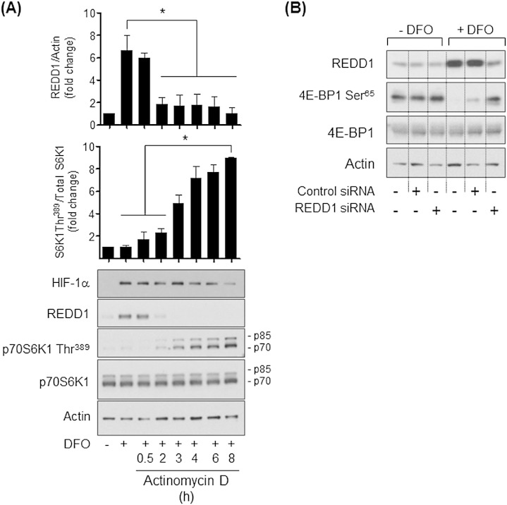 Effects of modulating REDD1 expression on DFO-induced changes in mTORC1 signalling in Caco-2 cells. (A) Caco-2 cells were incubated in the absence or presence of 100 μM DFO for 16 h prior to incubation with 100 μM Actinomycin D, a transcriptional inhibitor for time periods indicated. At the end of these treatments cells were lysed and lysates immunblotted with antibodies against HIF-1α, REDD1, p70S6K Thr 389 , p70S6K and actin. REDD1 and p70S6K Thr 389  abundance was quantified using ImageJ and data presented as mean ± SEM from at least three experiments. The asterisks signify significant differences (p