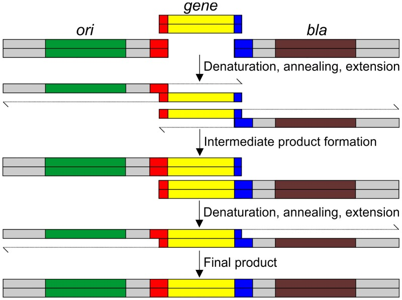 Schematic representation of overlapping PCR methodology. Overlapping PCR method is shown with only the strands that will be extended by the DNA polymerase in PCR; the other strand is omitted for clarity. The extension of the 3' end by the DNA polymerase is shown. Colour coding is same as in Fig 1 . Complementary sequences shown in red and blue will allow the hybridization of the gene with the vector fragments. In the initial PCR cycles, the insert will hybridize with the fragment. The intermediate product formed will contain the insert added to each fragment. Subsequent cycles will allow the extension of the intermediate product to full-length final product, which will be amplified in the remaining cycles with the terminal primers AmpFor and OriFor (not shown).