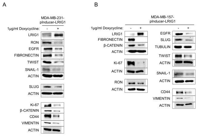 Inducible expression of LRIG1 decreases expression of mesenchymal markers in MDA-MB-231 and MDA-MB-157 breast cancer cells MDA-MB-231-pInducer-LRIG1 (A) and MDA-MB-157-pInducer-LRIG1 (B) Cells were untreated or treated with Doxycycline to induce LRIG1 expression and blotted for various markers as indicated. All data are representative of at least 3 independent experiments.