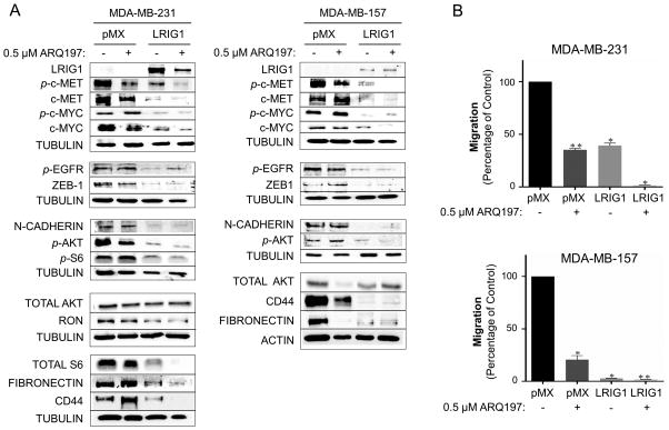LRIG1 expression in Met receptor positive Basal B breast cancer cells is as effective as Met inhibition (A) Left panel: Western blot analysis of total cell lysates from MDA-MB-231-pMX control and –LRIG1 cells, treated with and without 0.5 uM ARQ197 for 24 hours, as indicated. Right panel: Western blot analysis of total cell lysates from MDA-MB-157-pMX control and –LRIG1 cells, treated with and without 0.5 uM ARQ197 for 24 hours, as indicated. (B) Migration of pMX control and LRIG1-expressing MDA-MB-231 (top panel) and MDA-MB-157 (bottom panel) cells with and without 0.5 μM ARQ197 was measured after 12 hrs by Boyden chamber transwell migration assay. Data are presented as mean ± SEM, collected from at least 3 independent experiments (** = p