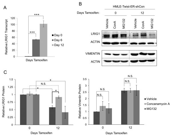 LRIG1 protein expression is increased by lysosomal inhibition in HMLE-Twist-ER cells (A) LRIG1 transcript expression was measured by quantitative real time PCR in HMLE-Twist-ER-shCon cells at Day 0, Day 6 or Day 12 post-Twist induction. (B) HMLE-Twist-ER-shCon cells at Day 0 or Day 12 post-Twist induction were treated with DMSO (Vehicle), 100 nM Concanamycin A (ConA) or 10 μM MG132 for 6hrs. Lysates were then probed for LRIG1, Vimentin and Actin. Samples pre- and post-Twist induction were run on the same blot and are directly comparable. (C) Quantification of data shown in (B) with LRIG1 on the left and Vimentin on the right. Data are presented as mean ± SEM, collected from 3 independent experiments. (* = p