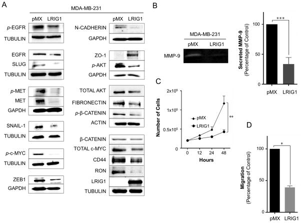 LRIG1 suppresses proliferation and migration of MDA-MB-231 breast cancer cells (A) Western blot analysis of total cell lysates from MDA-MB-231-pMX control and –LRIG1 cells. Cells are stable, pooled clones. Cells were blotted as indicated. (B) Activity of secreted matrix metalloproteinase-9 (MMP-9) from MDA-MB-231-pMX control and MDA-MB-231-pMX-LRIG1 cells, measured by gelatin-substrate zymography. (C) Proliferation of MDA-MB-231-pMX control and MDA-MB-231-pMX-LRIG1 cells, measured by manual cell counting at the indicated time points. (D) Migration of MDA-MB-231-pMX control and MDA-MB-231-pMX-LRIG1 cells after 12 hrs (before cell division), measured by Boyden chamber transwell migration assay. Data are presented as mean ± SEM, collected from at least 3 independent experiments. (* = p