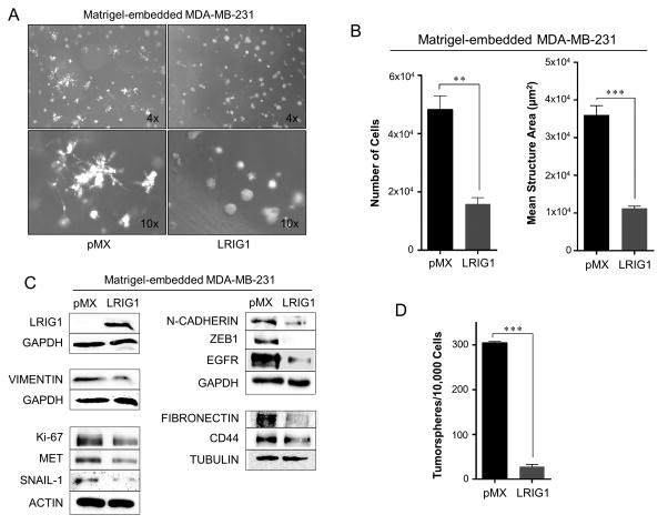 LRIG1 suppresses invasive 3D morphology of MDA-MB-231 breast cancer cells (A) Phase-contrast images (4x and 10x objectives, as indicated) of MDA-MB-231-pMX control (left) and MDA-MB-231-pMX-LRIG1 (right) cells grown in 3D Matrigel culture for 7 days. (B) Left panel: Proliferation of MDA-MB-231-pMX control and MDA-MB-231-pMX-LRIG1 cells was measured by manually counting cells recovered from 3D Matrigel culture after 7 days. Right panel: The area of structures observed in (A) were quantified (n ≥ 80 structures). (C) Western blot analysis of total cell lysates from MDA-MB-231-pMX control and –LRIG1 cells recovered after growing in 3D Matrigel culture for 7 days. (D) Quantification of tumorspheres formed by MDA-MB-231-pMX control and MDA-MB-231-pMX-LRIG1 cells. Data are presented as mean ± SEM, collected from at least 3 independent experiments. (** = p