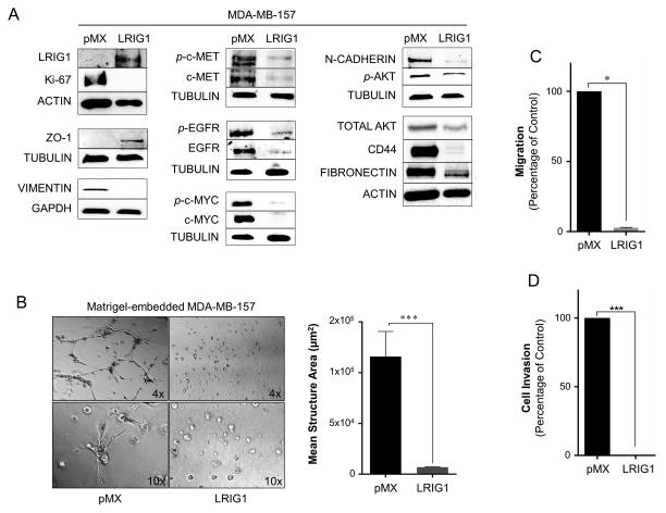 Lrig1 suppresses migration and invasion of MDA-MB-157 breast cancer cells (A) Western blot analysis of whole cell lysates from MDA-MB-157-pMX control and –LRIG1 cells. Cells were blotted as indicated. (B) Phase-contrast images (4x and 10x objectives, as indicated) of MDA-MB-157-pMX control (left) and MDA-MB-157-pMX-LRIG1 (right) cells grown in 3D Matrigel culture for 7 days. The area of structures observed were quantified (n ≥ 60 structures, as shown in far right panel). (C) Migration of MDA-MB-157-pMX control and MDA-MB-157-pMX-LRIG1 cells after 12 hrs, measured by Boyden chamber transwell migration assay. (D) Invasion of MDA-MB-157-pMX control and MDA-MB-157-pMX-LRIG1 cells after 24 hrs, measured by invasion through Collagen I-coated Boyden chambers. Data are presented as mean ± SEM, collected from at least 3 independent experiments (** = p