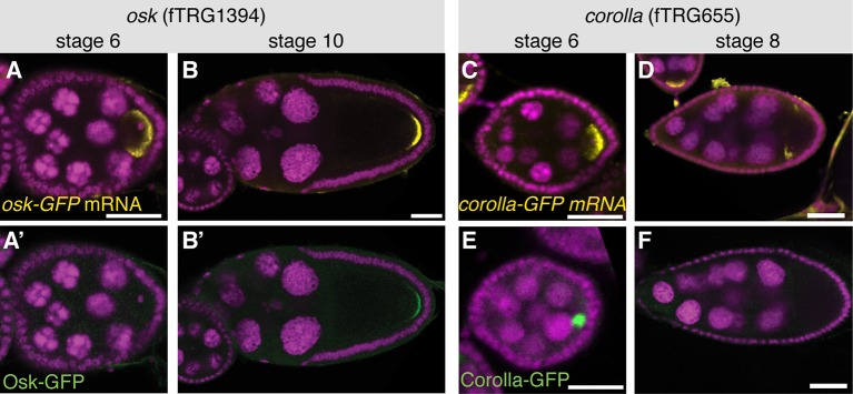Posttranscriptional regulation of protein expression during oogenesis. ( A , B ) osk-GFP mRNA visualised by an anti-GFP labelled RNA probe (yellow, DAPI in magenta) at stage 6 and stage 10 of oogenesis. ( A' , B' ) Osk-GFP protein visualised by anti-GFP antibody (green, DAPI in magenta) at stage 6 and stage 10. Note that Osk-GFP protein is not detectable at stage 6. ( C , D ) corolla-GFP mRNA (yellow, DAPI in magenta) at stage 6 and stage 8. ( E , F ) Corolla-GFP protein (green, DAPI in magenta) at stage 6 and stage 8. Note that Corolla-GFP protein is only detectable at stage 6 but not stage 8. Scale bars indicate 30 µm. DOI: http://dx.doi.org/10.7554/eLife.12068.010