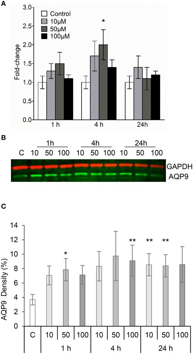 3O-C 12 -HSL increases the expression of AQP9 in macrophages. (A) Changes in AQP9 mRNA levels of macrophages. Cells were treated either with diluent (Control) or with 10, 50, and 100 μM 3O-C 12 -HSL for 1, 4, and 24 h, and qPCR was performed using GAPDH as a reference gene. Two-way ANOVA suggested that the concentration but not the different times of observation primarily affected the expression rate. Significant difference is indicated with * when P