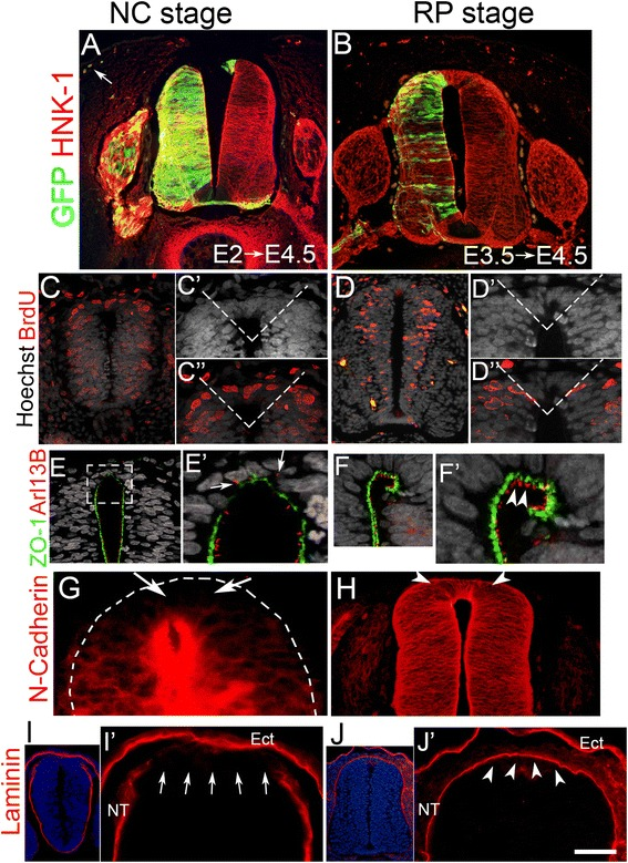 """Differential cellular characteristics of the neural tube at neural crest ( NC ) and roof plate ( RP ) stages. a , b Transverse sections of the flank region of E4.5 avian embryos whose hemi-neural tubes ( NTs ) were electroporated with a control GFP plasmid at E2 ( a ) or E3.5 ( b ). Note the contribution of labeled cells to NC derivatives including melanocytes ( arrow in a) following early but not late stage electroporations. c , d Bromodeoxyuridine ( BrdU ) incorporation following a 1-h pulse at NC (E2–E2.5, c) or RP (E3.5, d) stages. Dashed lines in insets mark the dorsal NT domain that was quantified (see text for details). Note the presence of the BrdU+ nuclei (Red) in c – c"""" but not in the equivalent dashed area in d – d"""" . Nuclei were visualized with Hoechst. e – j Antibody staining for epithelial (ZO-1, N-cadherin, laminin) or ciliary (Arl13b) markers. Arrows point to disorganized cilia ( e' ), the absence of N-cadherin in the dorsal NT compared to more ventral regions ( g ), and an incomplete laminin-containing basal lamina ( i , i' ) at the NC stage. In contrast, note the apically oriented cilia ( f ), positive N-cadherin immunostaining ( h ), and continuous laminin expression ( j ) in the dorsal NT at the RP stage ( arrowheads in f , h , and j' ). Ect ectoderm. Bar in a , b , d , h , j = 80 μM; c = 50 μM; c' , d' , e = 30 μM; f , g , i' = 40 μM; e' =15 μM; j = 240 μM; i =140 μM"""