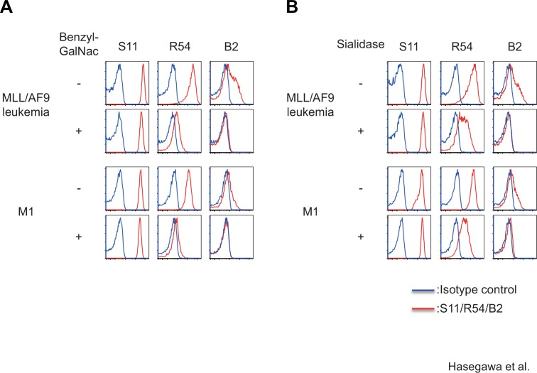 Epitopes for R54 and B2 mAbs, but S11 mAb, are sensitive to O-glycosylation inhibitor or sialidase. FACS analysis of binding of each CD43-specific mAb to MLL/AF9 leukemia cells or M1 leukemia cells treated with 1 mM benzyl-GalNac for 24 hours (A) or 250 U/ml sialidase for 1 hour (B).