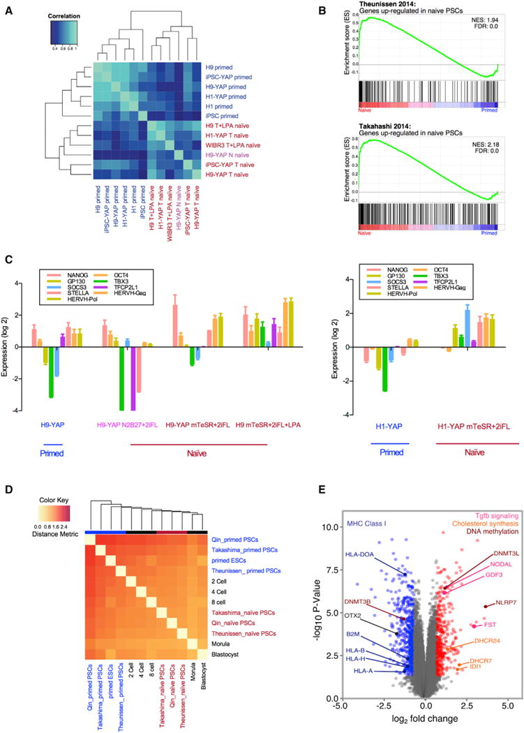 Yin-PSCs and Lin-PSCs Have a Naive-like Transcriptional Profile Distinct from that of Primed PSCs (A) Primed PSCs and Yin- and Lin-PSCs have distinct gene expression profiles, as shown by unsupervised hierarchical clustering. The top 1,000 genes with the highest coefficient of variation were used to cluster samples using Pearson correlation coefficients. Six human primed PSC samples include H9, H1, IMR-90 iPSCs, H9-YAP, H1-YAP, and IMR-90 iPSC-YAP cells. Six human naive PSC samples include H9-YAP in N2B27+2iFL (H9-YAP N naive), H9-YAP in mTeSR+2iFL (H9-YAP T naive), H1-YAP in mTeSR+2iFL (H1-YAP T naive), IMR-90 iPSC-YAP cells in mTeSR+2iFL (iPSC-YAP T naive), H9 in mTeSR+2iFL+LPA (H9 T+LPA naive), and WIBR3 in mTeSR+2iFL+LPA (WIBR3 T+LPA naive). Primed cells are indicated in blue. H9-YAP in N2B27+2iFL naive medium is in pink, and all other naive cells are in red. (B) GSEA reveals that Yin-PSCs and Lin-PSCs have gene expression profiles concordant with naive PSCs from other studies. The upper panel is the enrichment plot for the gene set of Theunissen et al. (2014) upregulated in naive by Log 2 FC > 3.0. The lower panel is the enrichment plot for the gene set of Takahashi et al. (2014) upregulated in naive by Log 2 FC > 2.0. Vertical black bars represent the position of genes upregulated in naive cells in the Takashima et al. (2014) or Theunissen et al. (2014) studies, distributed along the differential expression values for the entire transcriptome in this study, and ranked from upregulated in Yin-PSCs and Lin-PSCs (red, left) to upregulated in parental primed PSCs (blue, right). (C) Yin-PSCs and Lin-PSCs express markers specific for naive pluripotency, as confirmed by qRT-PCR. Values were normalized to GAPDH and UBB and then compared to H9 in primed medium (left panel) or H1 in primed medium (right panel). Data are averages of triplicate PCR reactions, and error bars represent SD. (D) Hierarchical clustering shows that naive Yin-PSCs and Lin-PSCs are similar to nai