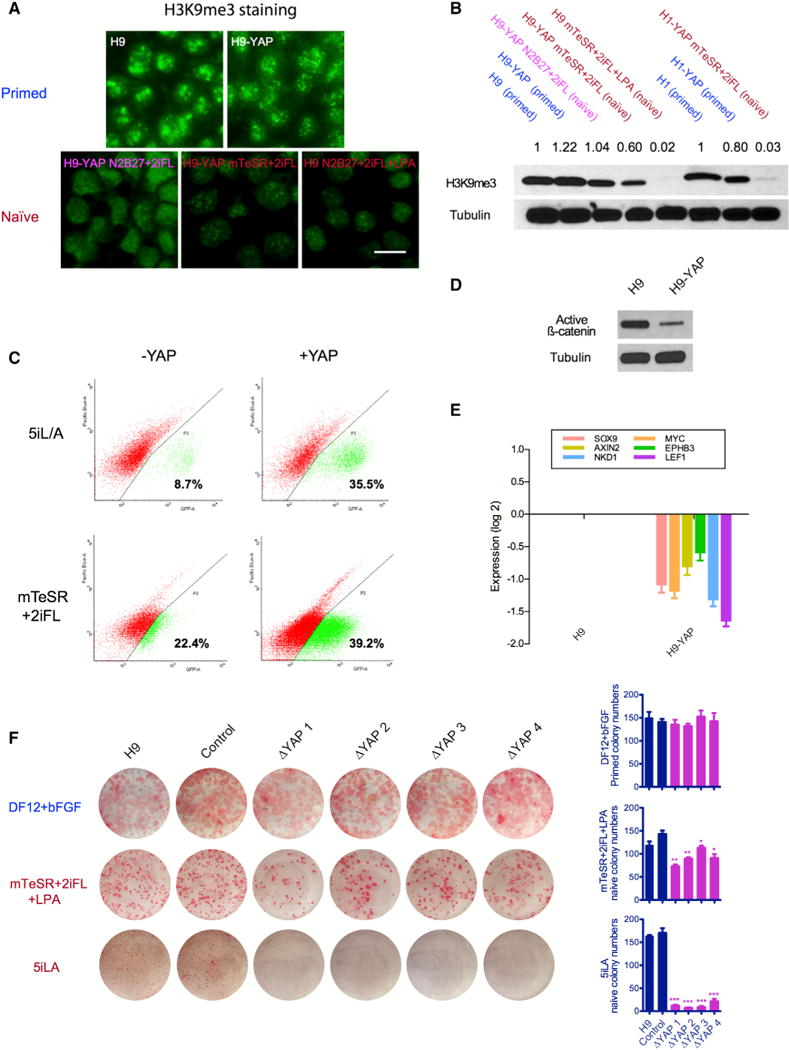 YAP Regulates the Human Naive State and Acts in Part by Modulating Wnt Signaling (A) H3K9me3 is strongly reduced in naive H9 ESCs, as seen by immunofluorescence. Upper panel: H9 and H9-YAP in DF12+bFGF primed medium. Lower panel: H9-YAP in N2B27+2iFL naive medium, H9-YAP in mTeSR+2iFL naive medium, and H9 in mTeSR+2iFL+LPA naive medium. Scale bar, 20 μm. (B) Decreased total amount of H3K9me3 in Yin-PSCs and Lin-PSCs was confirmed by western blotting. Tubulin was used as loading control. Values indicate densitometry analysis of the H3K9me3 level normalized to tubulin. (C) Flow cytometric analysis of the proportion of OCT4-ΔPE-GFP+ WIBR3 cells with or without YAP overexpression in 5i/L/A (upper panels) or mTeSR+2iFL (lower panels) media. Cells were expanded in bulk and analyzed at passage 3, in the absence of colony picking. YAP overexpression increases the ratio of OCT4-ΔPE-GFP + cells in both media. (D) YAP overexpression decreases levels of unphosphorylated (active) β-catenin, as shown by western blotting. Tubulin was used as loading control. (E) YAP overexpression decreases the expression of Wnt target genes, as shown by qRT-PCR. Values were normalized to GAPDH and UBB and then compared to H9. Data are averages of triplicate PCR reactions, and error bars represent SD. (F) YAP knockout impairs the ability of ESCs to form naive colonies. H9 controls and four clones of CRISPR/Cas9-generated YAP −/− cells cultured in DF12+bFGF (primed), mTeSR+2iFL+LPA (naive), and 5i/L/A (naive, Theunissen et al., 2014 ) were trypsinized to single cells, counted, and plated onto MEFs in the presence of ROCK inhibitor. Seven days later, AP staining was performed and colony numbers were counted. Error bars represent SD. *p
