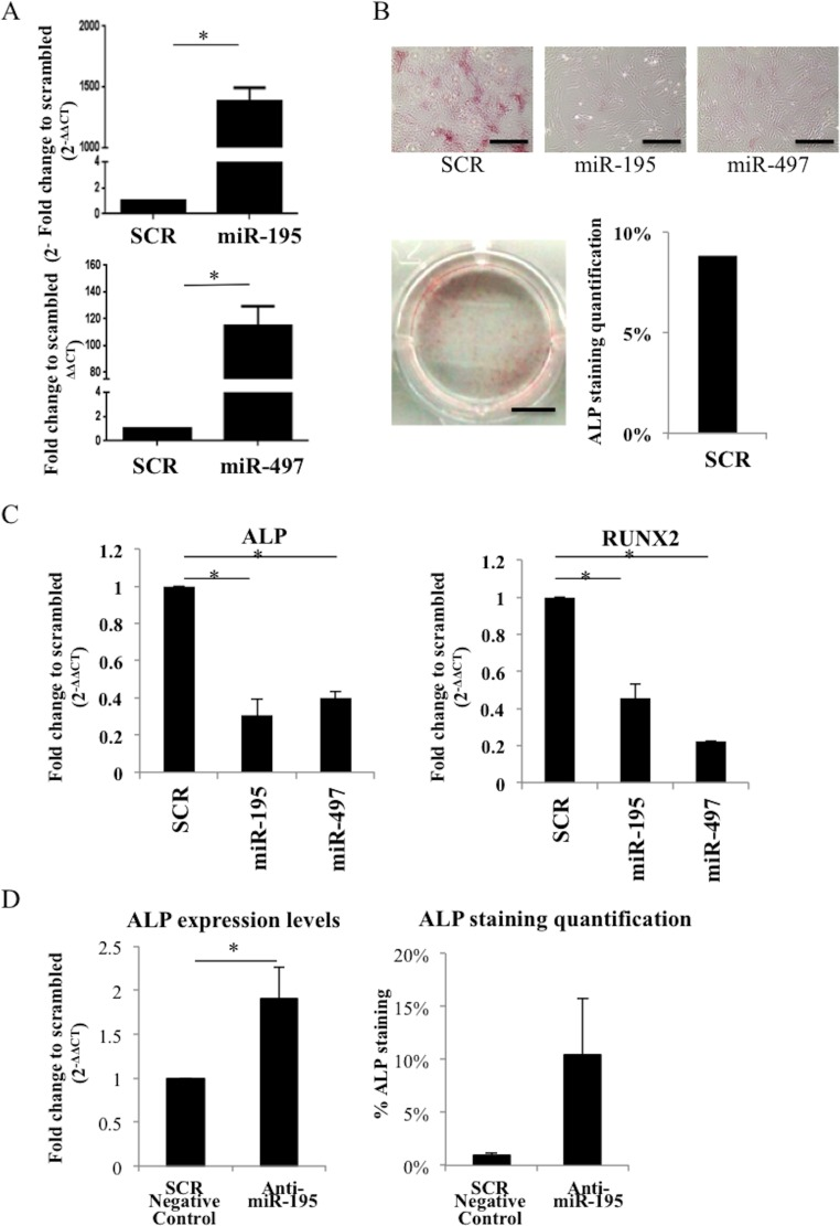 miR-195 and miR-497 decrease osteogenesis in human primary MSC A. miR-195 and miR-497 levels after <t>electroporation</t> of human MSC with miR-195 and miR-497 were determined by quantitative real time PCR. Small nuclear RNA U6 was used as reference gene. Values shown represent 2 independent experiments and are relative to scrambled negative control (SCR). B. ALP staining 7 days after electroporation of human MSC with scrambled negative control (SCR), miR-195 or miR-497 (5X; microscope scale: 50 μm; photography scale: 2 mm). C. ALP and RUNX2 expression levels in human MSC electroporated with either SCR, miR-195, miR-497. D. ALP expression levels 48h after MSC transfection with SCR negative control or anti-miR-195; ALP staining quantification in MSC transfected with SCR negative control or anti-miR-195 after 5 days of incubation with osteogenic supplements. Values shown represent 2 independent experiments and are relative to SCR (mean±SD; * P