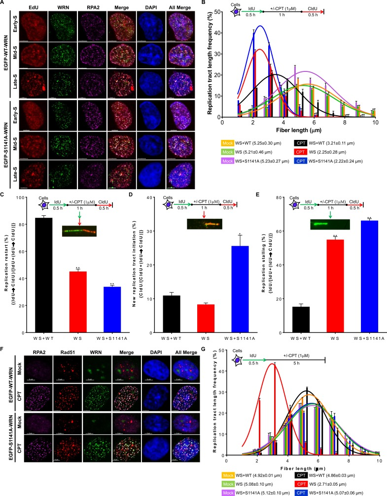 ATR-mediated WRN phosphorylation is critical for replication fork processes upon replication stress A. WRN is recruited to replication forks sites independently of its S1141 phosphorylation. WS cells stably expressing EGFP-tagged WT or EGFP-tagged S1141A WRN were pulse-labeled with 50 μM EdU for 90 min and then treated with 1 μM CPT for 1 h. After 8 h, cells were fixed with 4% paraformaldehyde and immunostained with anti-RPA2 antibodies. Subsequently, the Click-IT reaction was carried out to detect EdU signal. Representative three-dimensional deconvoluted confocal images are shown. Scale bars are 5 μm. B. Replication fork progression is inefficient in WS+S1141A cells in response to replication stress. DNA fiber length distributions in WS+WT, WS, and WS+S1141A cells are illustrated before and after CPT treatment. Cells were labeled with IdU for 30 min, treated with ± CPT (1 μM) for 60 min, and labeled with CIdU for another 30 min. DNA fibers were immunostained with anti-BrdU (rat and mouse) antibodies, images were captured using fluorescence microscopy, and IdU (mock-treated) and CldU (CPT-treated) tract lengths were measured using Axiovison Software. More than 200 DNA fibers were evaluated in each sample. Each data point is the average of three independent experiments. Error bars represent STDEV. C. - E. WRN phosphorylation suppresses new origin firing and replication fork stalling in response to replication stress. C. Percentages of replication fork restarts in CPT-treated WS+WT, WS, and WS+S1141A cells relative to mock-treated cells are shown; levels were evaluated using the following formula: (IdU→CldU)/[IdU+(IdU→CldU)]. D. The graph shows fold changes in new origin firing in CPT-treated WS+WT, WS, and WS+S1141A cells relative to mock-treated cells calculated using the formula: CldU/[CldU+(IdU→CldU)]. E. The graph shows fold changes in replication forks stalling in CPT-treated WS+WT, WS, and WS+S1141A cells relative to mock-treated cells evaluated using the formu