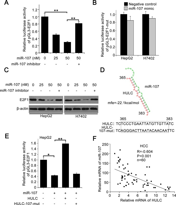 HULC increases E2F1 by sequestering miR-107 A. Relative luciferase activity of pGL3-E2F1 was measured by luciferase reporter gene assays in HepG2 cells transfected with miR-107 or co-transfected with miR-107 inhibitor. B. Relative luciferase activities of pGL3-E2F1-mut were detected in HepG2 and H7402 cells treated with miR-107. C. E2F1 was measured by Western blot analysis in HepG2 and H7402 cells transfected with miR-107 or co-transfected with miR-107 and miR-107 inhibitor. D. A model shows the predicted interaction between HULC and miR-107 through complementary base-pairs. The generated mutant site at the HULC (365-383) is indicated. E. Relative luciferase activities of pGL3-E2F1 were measured by luciferase reporter gene assays in HepG2 cells transfected with miR-107 or co-transfected with HULC (or HULC-107-mut). F. The correlation between HULC mRNA levels and miR-107 levels was detected by qRT-PCR in 60 HCC tissues ( P