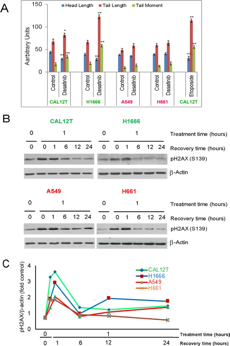 Dasatinib induces DNA damage in non-small cell lung cancer cells with kinase-inactivating BRAF mutations ( KI BRAF) A. KI BRAF cells (Cal12T, H1666) and wild-type BRAF cells (H661, A549) were incubated with 150nM dasatinib for 72 hours and DNA damage was measured using the COMET assay. COMET-Assay IV software was used to estimate the tail length, head length, and tail moment. Error bars represent standard deviation. * P