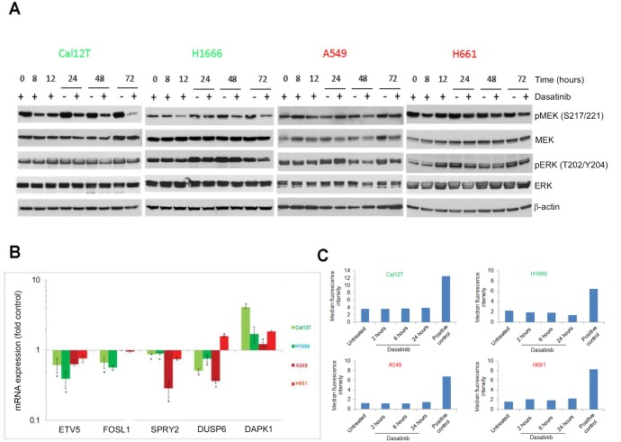 Dasatinib does not induce oncogene-induced senescence Non-small cell lung cancer cell lines with kinase-inactivating BRAF mutations (Cal12T, H1666) or wild-type BRAF (H661, A549) were incubated with 150nM dasatinib for the indicated times (A, C) or for 72 hours (B) Activation of the MEK/ERK pathway was measured using Western blot analysis with the indicated antibodies A. or quantitative polymerase chain reaction for downstream transcriptional targets B. Error bars represent standard deviation. * P
