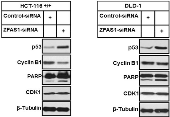 Western blot analysis of p53, Cyclin B1 and PARP cleavage after ZFAS1 siRNA transfection of HCT116+/+ and DLD-1 cells