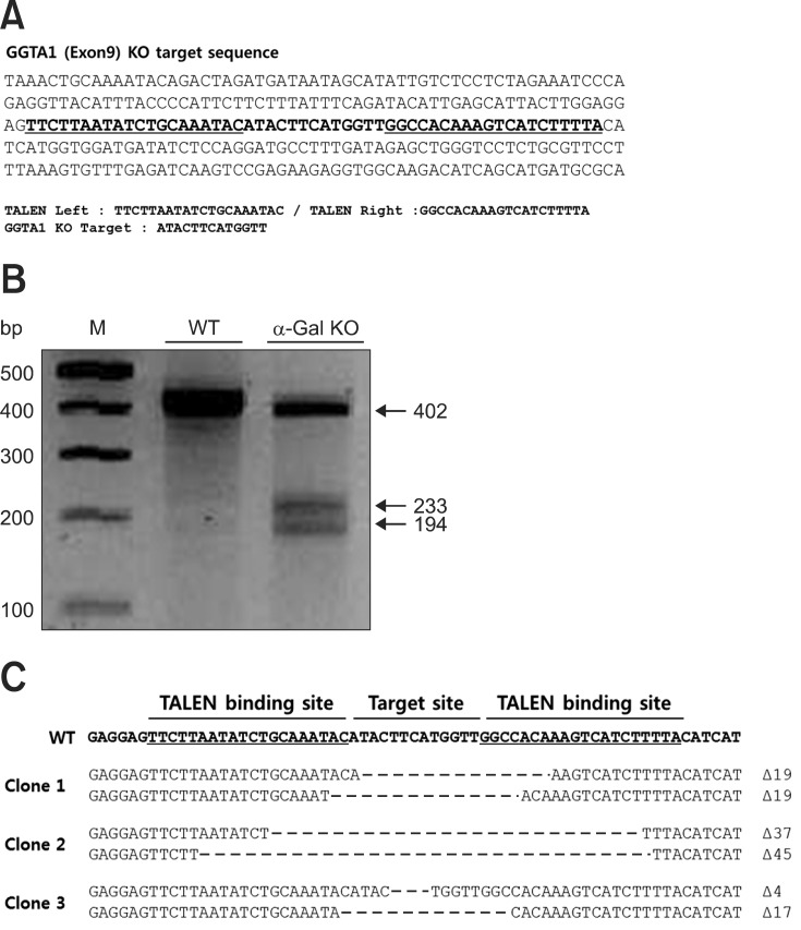 Generation of porcine α1,3-galactosyltransferase ( GGTA1 ) knockout (KO) fibroblasts with transcription activator-like effector nucleases (TALENs). (A) Sequences of the TALEN binding site in the GGTA1 gene. (B) TALEN driven GGTA1 mutations detected by the T7 endonuclease I (T7E1) assay in a cell population isolated using a biotin-labeled IB4 lectin attached to dynabeads magnetic beads. (C) DNA sequencing of TALEN target region in transfected cells. WT, wild type.