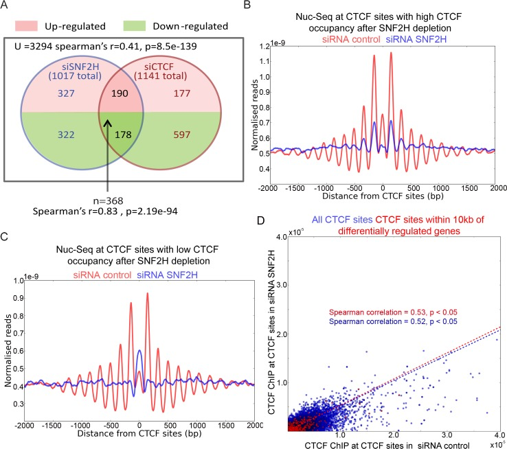 Depletion of SNF2H affects the transcription of many genes regulated by CTCF. (A) RNA seq was performed for cells depleted of CTCF and SNF2H. Expression of 3294 genes could be significantly (p