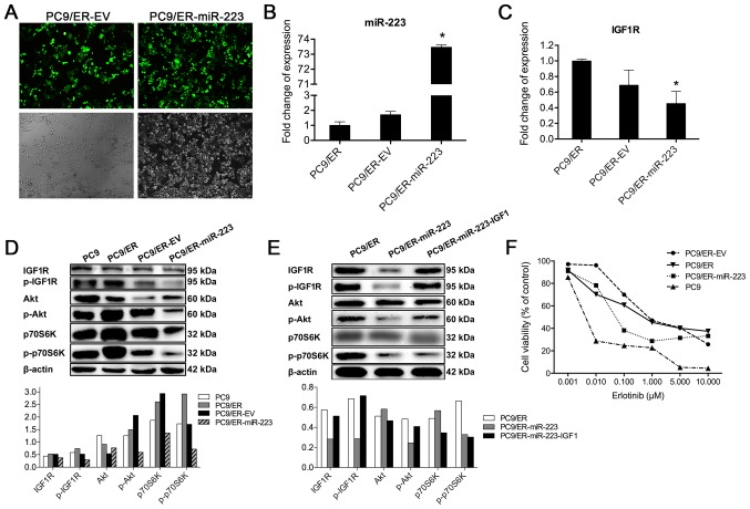 Inhibitory effect of miR-223 on IGF1R/PI3K/Akt signaling pathway in vitro . (A) The GV259-miR-223 <t>lentiviral</t> vector was packaged and delivered to PC9/ER cells. Transduction efficiency was evaluated based on the fluorescent GFP signal. Fluorescent GFP signal was stably observed 72 h after infection. EV for control vector-infected cells (right panel) and miR-223 for GV259-miR-223-infected cells (left panel) are shown. Magnification, ×100. (B) miR-223 was overexpressed in PC9/ER cells as confirmed by real-time RT-PCR analysis. (C) Downregulation of IGF1R expression in PC9/ER-miR-223 cells was confirmed by real-time RT-PCR analysis. (D) IGF1R/Akt/p70S6K pathway was suppressed in the miR-223-overexpressing cells. Phosphorylation of Akt and p70S6K was significantly inhibited, according to western blot analysis. (E) miR-223 mediated inhibition of IGF1R/PI3K/Akt was reversed by agonist (IGF1) of IGF1R in miR-223 transfected cells. p-IGF1R and p-Atk were increased as shown in western blots. (F) The cytotoxicity and IC 50 values in PC9, PC9/ER, PC9/ER-EV, and PC9/ER-miR-223 cells. The cells were treated with the indicated concentrations of erlotinib for 72 h in medium containing 1% FBS. Cell viability and IC 50 values were determined using the CCK8 assay.