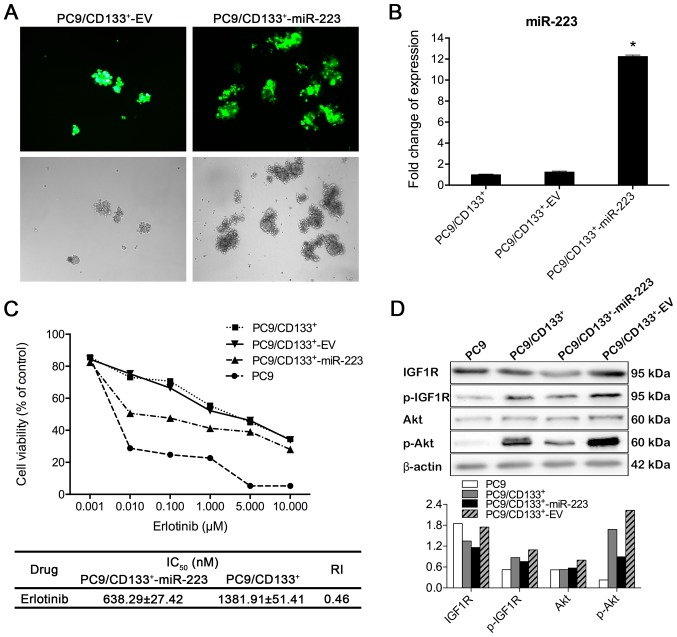 miR-223 inhibits the IGF1R/PI3K/Akt signaling pathway in CD133 + subpopulation cells. (A) The GV259-miR-223 lentiviral vector was packaged and delivered to PC9/CD133 + cells. Transduction efficiency was evaluated based on fluorescent GFP signal. Fluorescent GFP signal was stably observed 72 h after infection. EV for control vector-infected cells (a) and miR-223 for GV259-miR-223-infected cells (b). Magnification, ×100. (B) Transduction efficiency was evaluated by real-time RT-PCR analysis, and expression of miR-223 in PC9/CD133 + -miR-223 cells was 12.5-fold that in PC9/CD133 + cells. (C) Cytotoxicity and IC 50 values of erlotinib in PC9,PC9/CD133 + , PC9/CD133 + -miR-223, and PC9/CD133 + -EV cells. Cells were treated with indicated concentrations of erlotinib for 72 h in medium containing 1% FBS. Cell viability and IC 50 values in the treated cells were determined using the CCK8 assay. (D) Western blot analysis of the key molecules of IGF1R/PI3K/Akt signaling pathway in the erlotinib-treated (0.01 μM for 72 h) PC9, PC9/CD133 + , PC9/CD133 + -miR-223, and PC9/CD133 + -EV cells.