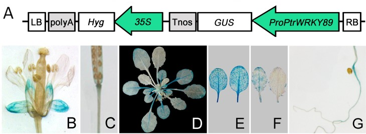 Expression analysis of the PtrWRKY89 promoter. (A) The promoter of PtrWRKY89 was cloned and ligated into vector pCXGUS-P to drive GUS expression and the resulting construct was introduced into A . thaliana . Transgenic seedlings were grown on MS media and then transplanted in soil for GUS staining. GUS expression was observed in various tissues of transgenic plants, including (B) flowers, (C) siliques, (D) 5-week-old seedlings, (E) old leaves, (F) young leaves and (G) roots.