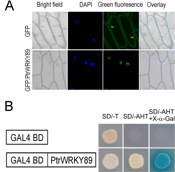 Subcellular localization and transactivation assay of PtrWRKY89. (A) PtrWRKY89 was ligated into pCX-DG vector to generate GFP : PtrWRKY89 construct. The resulting construct and empty vectors were transformed into epidermal cells of onion ( Allium cepa ) and stained with DAPI, respectively. The fusion protein displayed its localization to the cell nucleus as manifested by GFP (lower column) and GFP driven by the CaMV 35 promoter was localized to both the cytoplasm and the cell nucleus (upper column). Overlay and bright field images of the epidermal cells were also shown. (B) PtrWRKY89 was cloned into pGBKT7 vector with DNA binding domain of GAL4 and introduced into Gold2 yeast cells. The transformants were grown on SD medium lacking tryptophan (Try) for the sake of positive clone selection and then on SD medium without Try, histidine (His) and adenine (Ade) for the transactivation assay. The clones grown on SD (-Try/His/Ade) were stained by X-α-gal. GAL4-BD (empty vector) was a negative control.