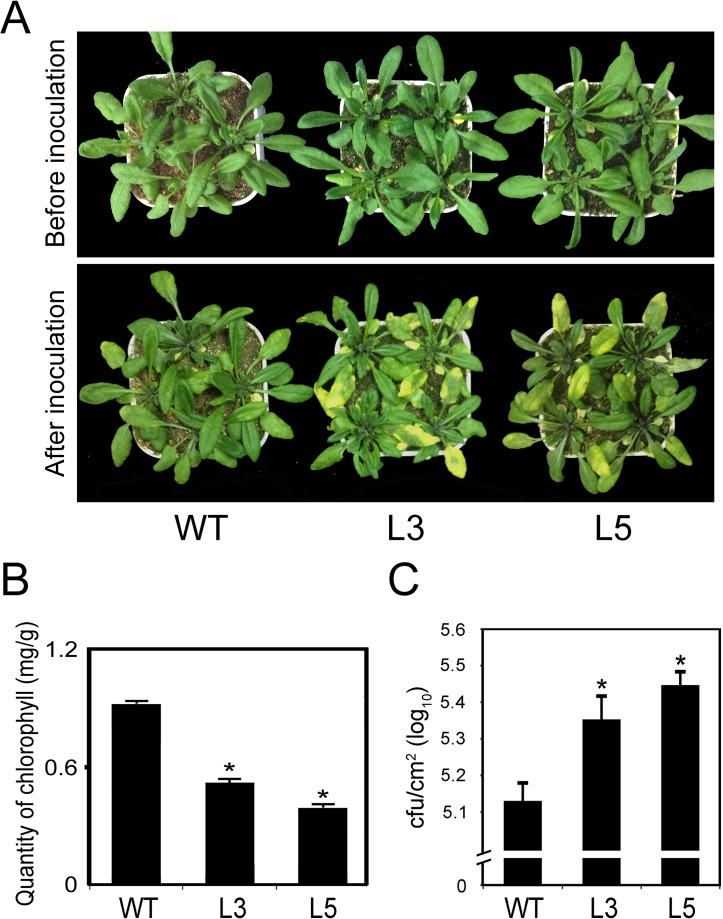 PtrWRKY89 overexpressing Arabidopsis plants showed more susceptible to Pst DC3000 than wild-type plants. (A) Disease symptoms of wild-type (WT) and transgenic plants after 3 days of Pst DC3000 infection. (B) The quantification of total chlorophyll content in transgenic and WT plants at 3 days post infection. (C) Growth of Pst DC3000 in planta 3 days after inoculation. Values represent means of three replicates. Error bars indicate standard deviation. Asterisks indicate a statistically significant difference between WT and transgenic plants (*, P
