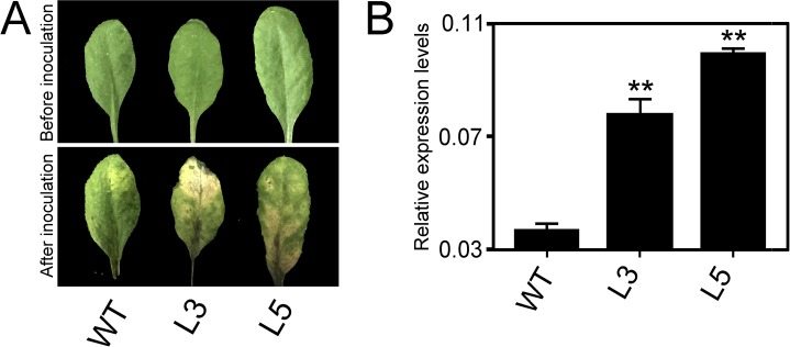 Constitutive expressing PtrWRKY89 in Arabidopsis plants showing susceptibility to Botrytis cinerea . (A) Disease response of inoculated plants at 7 days after B . cinerea infection. (B) Transcript accumulation of B . cinerea Actin gene in these inoculated plants. Arabidopsis UBC gene was used as an internal control. Values represent means of three replicates and error bars indicated standard deviation. Two asterisks indicated a statistically significant difference between WT and transgenic plants (**, P