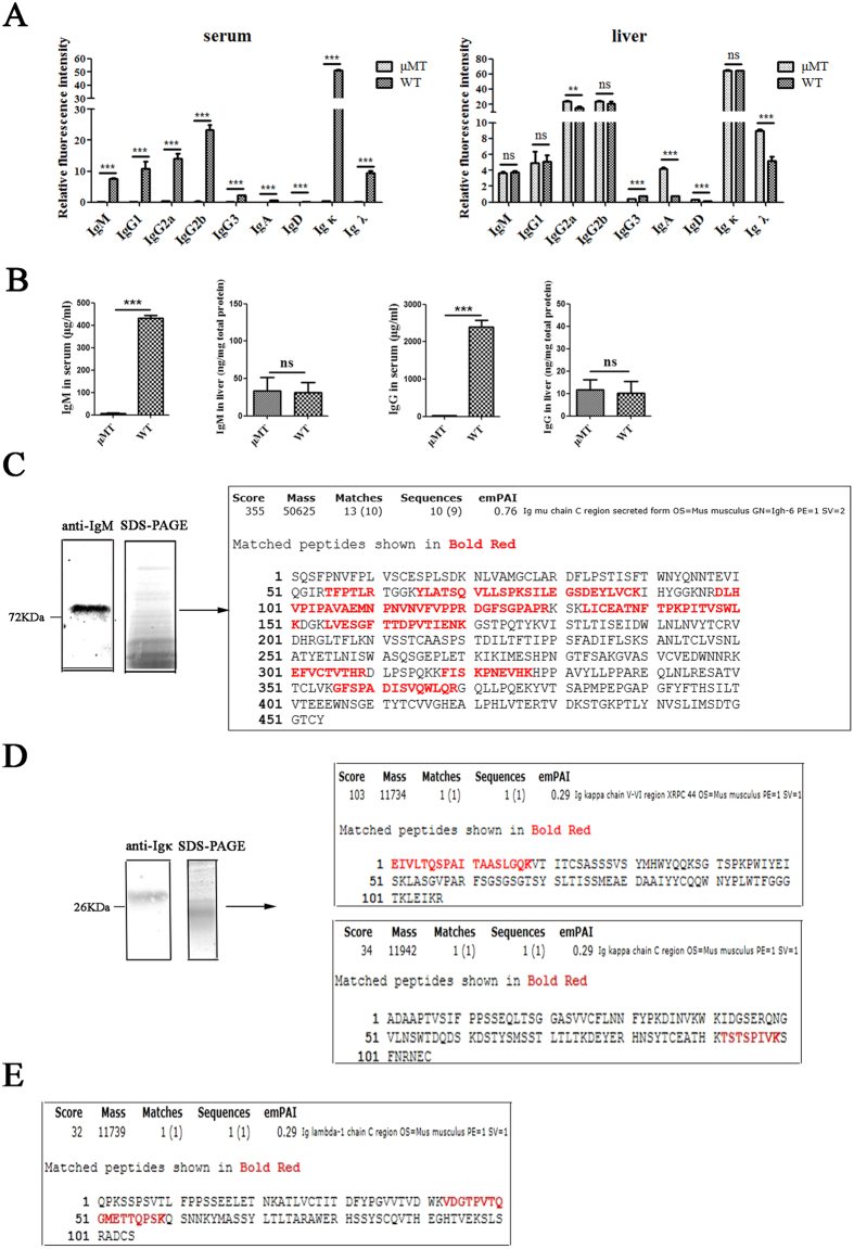 IgM, IgG, IgD, IgA, Ig κ and Igλ detection in serum and liver cells. ( A ) Ig expression level in serum and liver lysate of WT mice and μMT mice were measured by Mouse Ig Isotyping Array. WT serum was diluted 100 times, while serum from μMT mice was diluted 50 times. The statistical analysis was performed under the diluted condition of serum and the dilution difference was not taken into account. Igs were detected in 30 μg liver protein from WT mice or μMT mice. ( B ) The concentrations of IgM in serum and liver lysate from WT mice and μMT mice were detected by ELISA. ***P