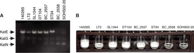 Subclade 1a S . Typhimurium with E117G mutation in KatE are deficient in KatE catalase activity. (A) Cellular extracts for eight strains were run individually in a nondenaturing polyacrylamide gel, and the catalase activity was visualized by the method of Woodbury et al. ( 43 ). This method relies on the reduction of potassium ferricyanide(III) to potassium ferrocyanide(II) in the presence of hydrogen peroxide, which upon reaction with ferric chloride forms a stable, insoluble Prussian blue pigment. A clear zone is present in regions of the gel that contain catalase activity. (B) Stationary-phase cultures of eight strains were mixed with equal volumes of Triton X-100 and 30% hydrogen peroxide to assay global catalase activity. The formation of oxygen bubbles is apparent in wild-type strains 14028S, LT2, and SL1344 and in strains with the D606G (DT104, BC_2557) and Q45K (ST34) mutations in KatE. Bubble formation is relatively reduced in strains BC_2558 and SOHS02-20 with the E117G mutation.