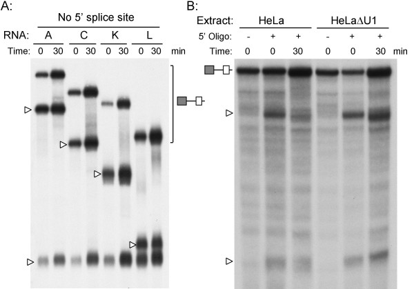 Lack of protection by an oligonucleotide complementary to exon 10.  Panel A:  RNase H protection assay was performed using an oligonucleotide complementary to exon 10. The templates were derived from minigenes A, C, K, and L, and lacked the terminal 5' splice site of exon 11. The templates were incubated on ice or at 30°C for 30 min. An oligonucleotide complementary to exon 10 was added followed by 2U RNase H. Reactions were digested for 5 min at 37°C, the RNA extracted and separated on 5% sequencing gels. The time of incubation at 30°C is indicated above each panel along with the template added. Open arrowheads indicate cleavage products from each template. The ratio of cleaved to uncleaved RNA is unaltered with this oligonucleotide.  Panel B:  the HeLa nuclear extract was pretreated with RNase H and an oligonucleotide complementary to the first 14 nucleotides of the U1 snRNA to deplete functional U1 snRNP. RNaseH protection assays were run as before using the oligonucleotide complementary to the 5' splice site using control (HeLa) or depleted (HeLaΔU1) extracts. Open arrowheads indicate cleavage products.