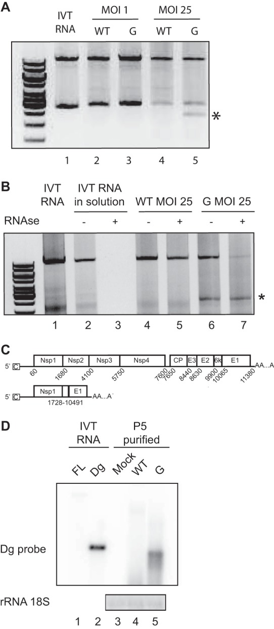 Defectives particles can be detected during SINV-G infection. (A) Detection of SINV-WT (WT) and SINV-G (G) genomic sequences by RT-PCR after 24 h of infection at an MOI of 1 or 25.  In vitro -transcribed RNA (lane 1) was used as a control. The top band corresponds to the full-length genome. An extra low-molecular-weight band is indicated by an asterisk. (B) Viral supernatants from a 24-h infection with SINV-WT (lanes 4 and 5) or SINV-G (lanes 6 and 7) were either untreated or treated with RNase A (−, absence; +, presence) and then subjected to RT-PCR as described for panel A.  In vitro -transcribed RNA (lane 1) was used as an RT-PCR control. IVT RNAs incubated in solution (lane 2) and treated with RNase A (lane 3) were used as RNase controls. (C) Schematic of SINV full-length genome and the defective genome, Dg. Schematic shows the 5′ and 3′ untranslated regions with cap (C) and poly(A) tail and the intergenic region containing the subgenomic promoter (arrow) for structural proteins. Each protein-coding gene is depicted as a separate box, with positions of start and stop nucleotides numbered below. The deleted nucleotides are numbered below the Dg scheme. (D) Five undiluted passages were performed on BHK-21 cells with SINV-WT (lane 4) or SINV-G (lane 5) virus, or cells were mock infected (lane 3). Progeny virions were treated with RNase and purified by ultracentrifugation. Viral RNA was probed by Northern blotting using a probe specifically targeting the Dg breakpoint.  In vitro -transcribed (IVT) RNAs corresponding to full-length (FL) and Dg genomes, not treated with RNase, were used as positive controls for detection (lanes 1 and 2).