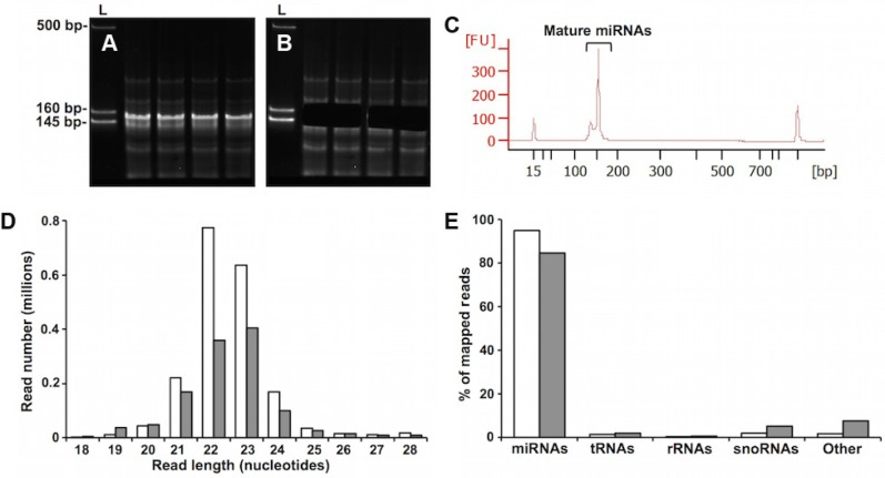 "Small RNA library analysis. ( A – C ) HL small RNA library purification and validation. ( A ) Representative samples of amplified cDNA prepared from HL-RNA were chromatographed on a 5% PAGE gel. The first lane in each panel is a marker composed of three dsDNA fragments of 145, 160, and 500 bp. The region between 145 and 160 bps, corresponding to adapter-ligated constructs derived from miRNA, was excised from the gel ( B ), and purified. The libraries prepared using these purified constructs were validated by analysis with Agilent <t>Bioanalyzer</t> High Sensitivity <t>DNA</t> Chip. ( C ) A representative electropherogram of a purified library. The peak at ~150 bp indicates the presence of cDNA from HL-miRNA. The peaks other than the ones labeled as miRNAs are the lower and upper markers used by the Bioanalyzer system to determine the size and quantity of the library peak. ( D , E ) Length distribution and annotation of small RNA sequencing reads from HL and BT. ( D ) Sequencing reads from all HL or BT miRNA samples were pooled for the purpose of length distribution and annotation analyses. Length distributions by abundance of sequencing reads from BT (clear bars) or HL (filled bars) are shown. Only reads 18–28 nucleotides in size which map uniquely to the UCSC Genome Browser dm6 (NCBI genome/47) Drosophila melanogaster genome are shown. ( E ) Distribution of RNA biotypes represented as the percentages of reads mapping to the indicated small RNAs. Clear and filled bars represent BT and HL samples, respectively. ""Other"" represents other Drosophila sncRNAs."